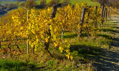 Yellow-leaved vineyard up a hill