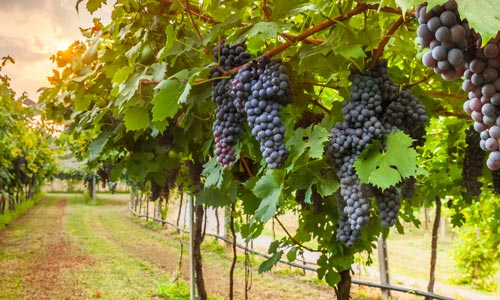black grapes hanging from the vines