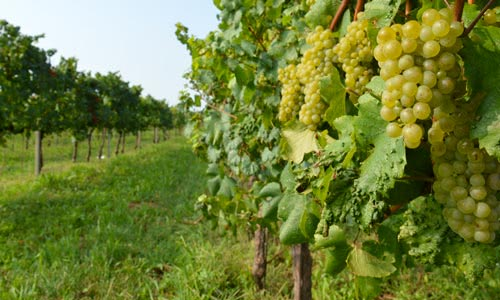 green yellow grapes hanging from the vines