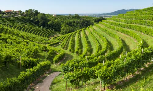 sloping terraced vineyard rows