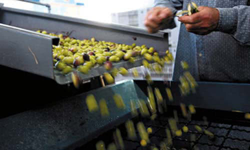 olives driven by a conveyor belt in production