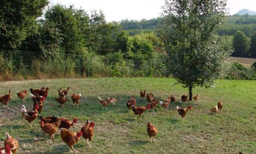 Hens running around a field