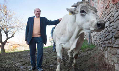 Macelleria Orbeto's owner petting one of his cows