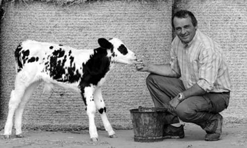 Caseificio Gennari's owner petting one of his calves