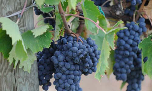 Conti Faina's grapes