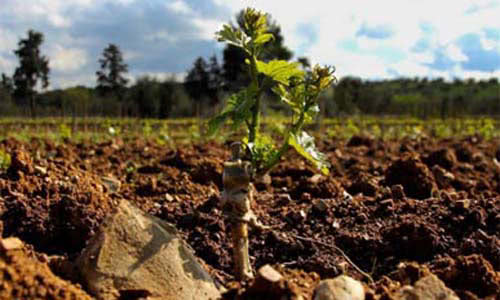 Podere Ranieri's plant on field