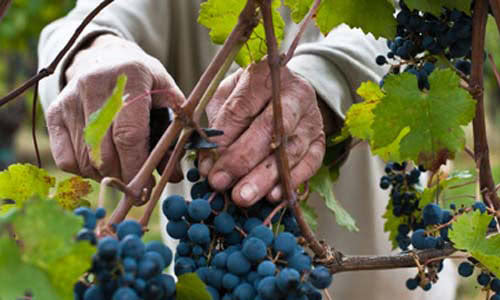 Vigna Petrussa's owner cutting a grape in his vineyard