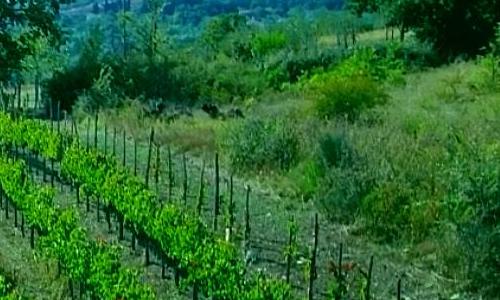 campo verde coltivazione vino